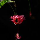 Jill's Hibiscus  by sunranger