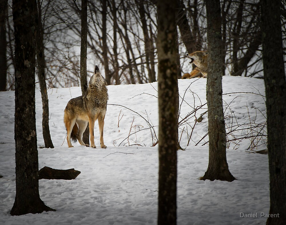 Coyote Howlin' by Daniel  Parent
