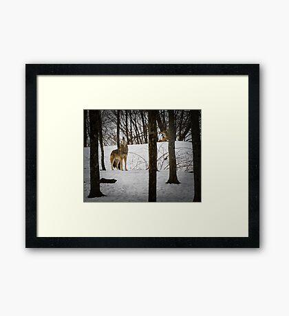 Coyote Howlin' Framed Print