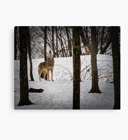Coyote Howlin' Canvas Print
