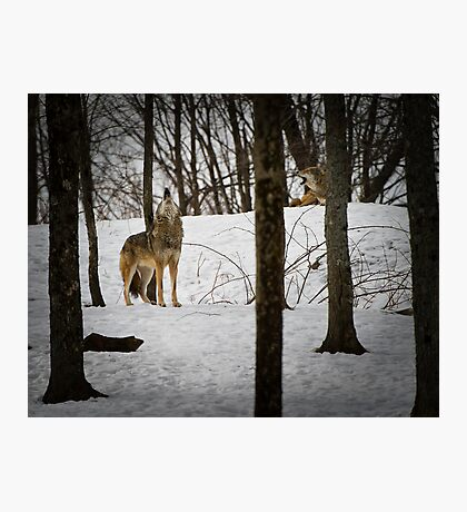 Coyote Howlin' Photographic Print