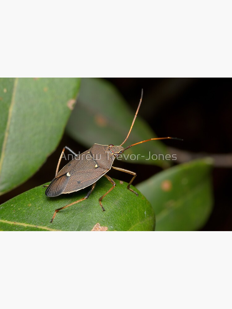 Two-spotted Gum Tree Shield Bug - Poecilometis parilis by andrewtj
