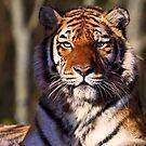 The stare by Shaun Whiteman