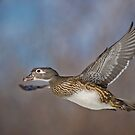 Flight of the Female Wood Duck by Daniel  Parent