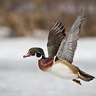 Flight of the Male Wood Duck by Daniel  Parent