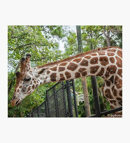 My Long Necked Friend  Photographic Print