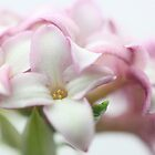 Sweet Smelling Daphne by Chrisdor