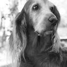 My Beautiful Daisy by SetterSmiles