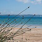 Knotted Club Rush - Rockingham Beach by mattsibum