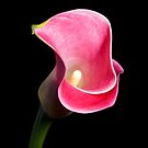 Lush Face - Calla Lily Bloom From Above by Brian Thedell