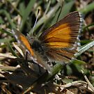Chequered Copper Butterfly (Lucia limbaria) - Adelaide, South Australia by Dan & Emma Monceaux