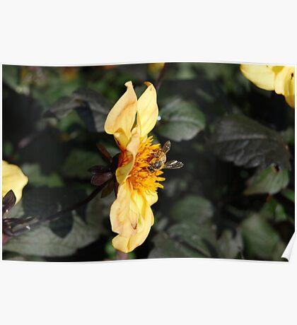 la récolte du miel Poster