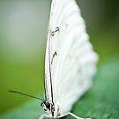 Butterfly 18 by Jacinthe Brault