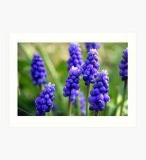 Grape-Hyacinths Art Print