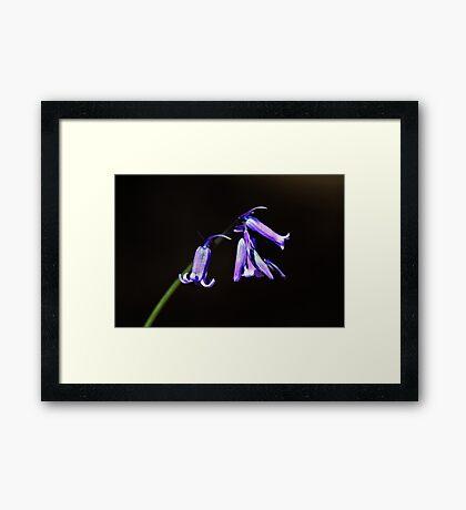 The First Bluebell Framed Print