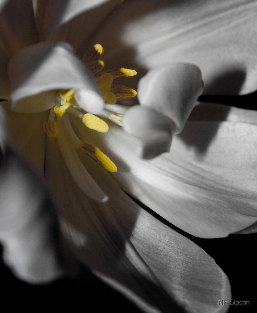 Tulip by Nic Sipson