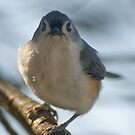 Pugnacious Titmouse by Michael  Dreese
