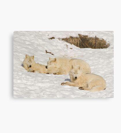 Three not so bad wolves Metal Print
