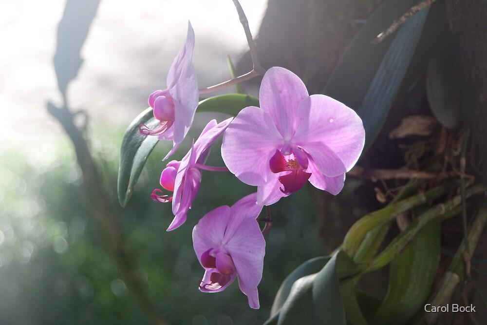 Orchid by Carol Bock