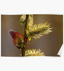 Plant, Goat willow, Salix caprea, catkins Poster