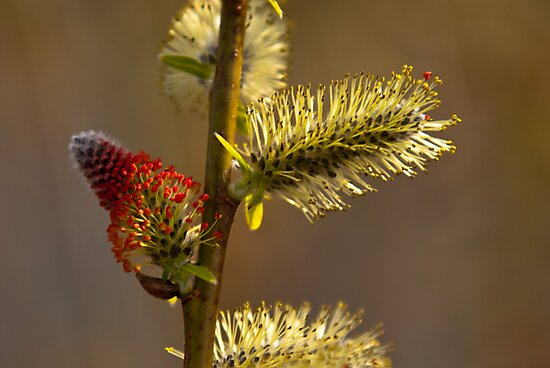Plant, Goat willow, Salix caprea, catkins by Hugh McKean