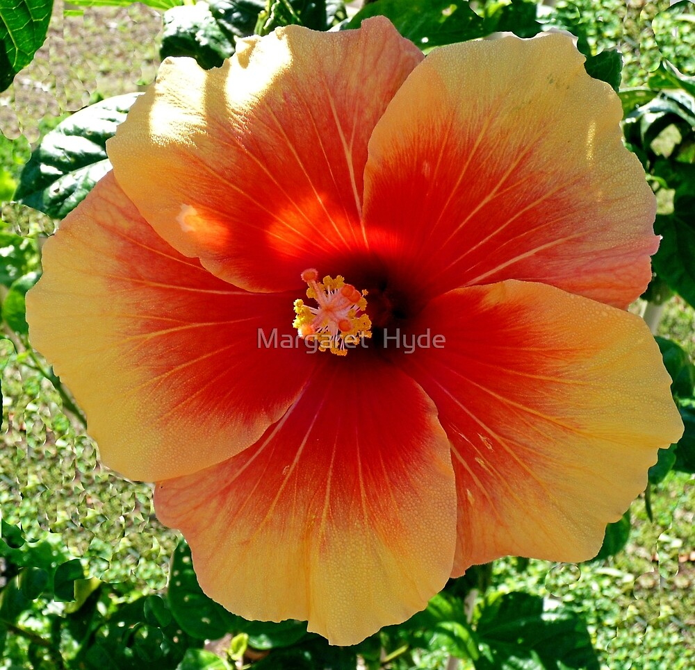 "Hibiscus, ""Redland Sunset"" by Margaret  Hyde"
