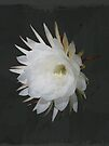 Epiphyte Blossom - Epiphyllum oxypetalum by MotherNature