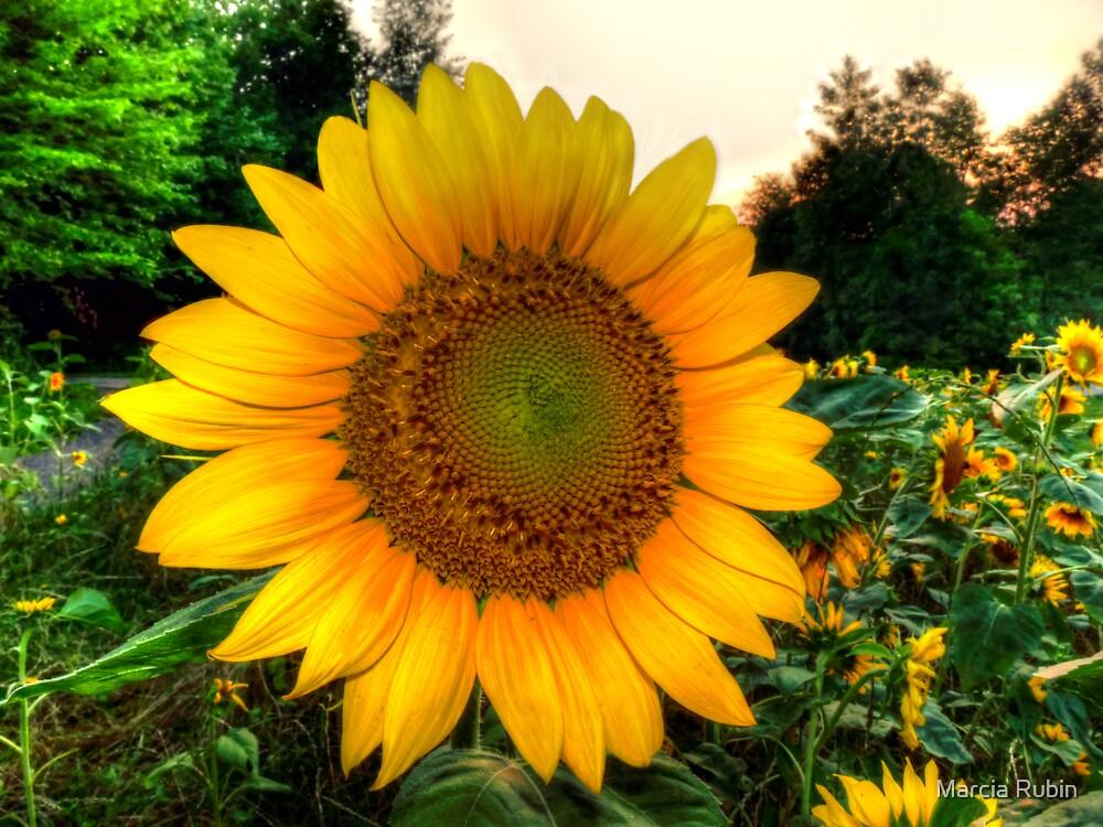 Sunflower Fields by Marcia Rubin