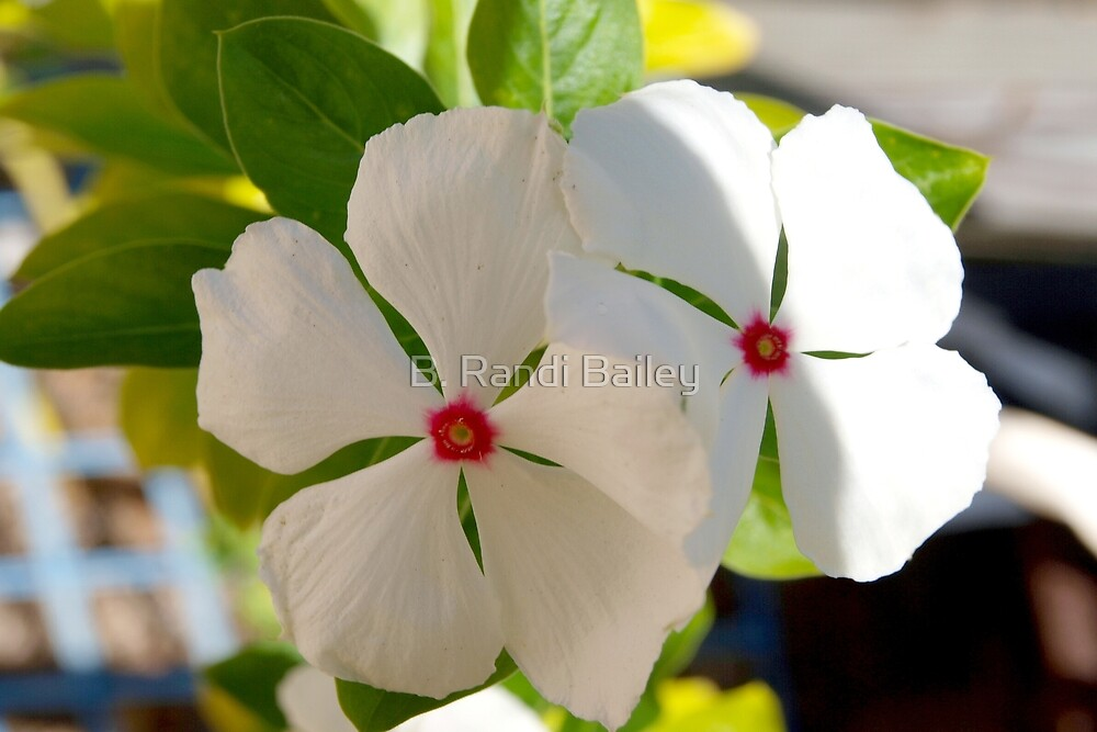 Brave, simple and hardy periwinkle by ♥⊱ B. Randi Bailey