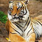 Malayan Tiger by Jason Pepe