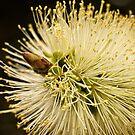 Zitronen-Bottlebrush-Blüte von Celeste Mookherjee