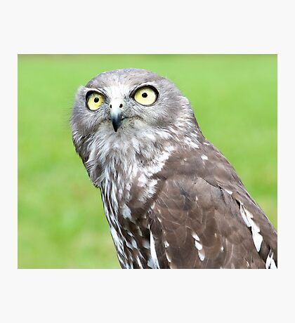 Looking Up - barking owl Photographic Print