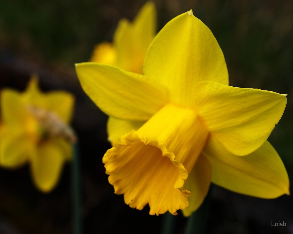 Daffodils, Another Sign of Spring by Loisb
