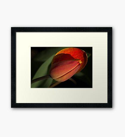 Tulpe Framed Print