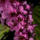 Spring  Flowers by Dania Reichmuth