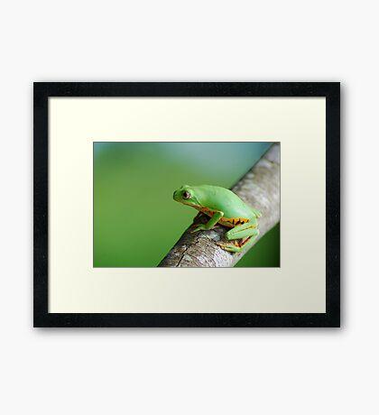 Orange Sided Monkey Frog (Phyllomedusa hypocondrialis) - Bolivia Framed Print