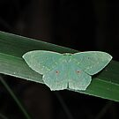 Cool green moth by Colin12
