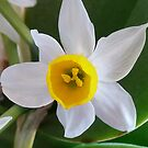 Narcissus by Elaine123