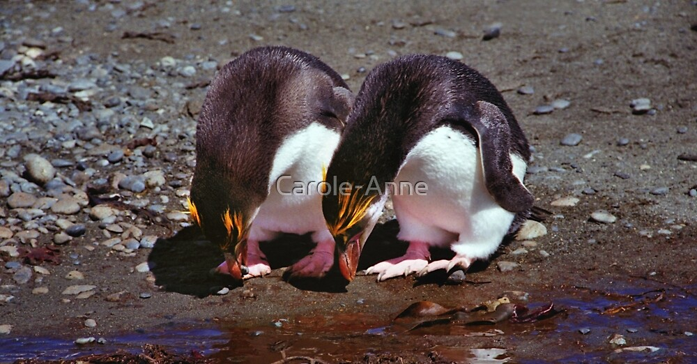 Royal Penguins Collecting Pebbles For Their Nest by Carole-Anne
