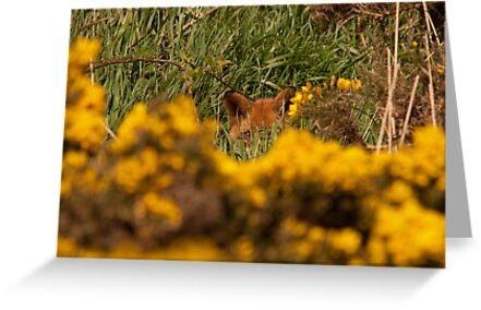 Fox hiding by Jon Lees