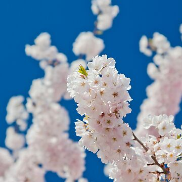 Cherry Blossoms 03 by Fergyphotos