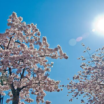 Cherry Blossoms 04 by Fergyphotos