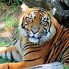 Tiger At Rest - 2009 by Randall Faulkner