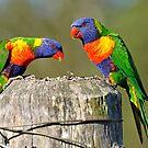 Rainbow Lorikeets in our yard. Brisbane, Queensland, Australia. by Ralph de Zilva