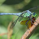 Blue dragonfly with its catch(dinner)! by jozi1