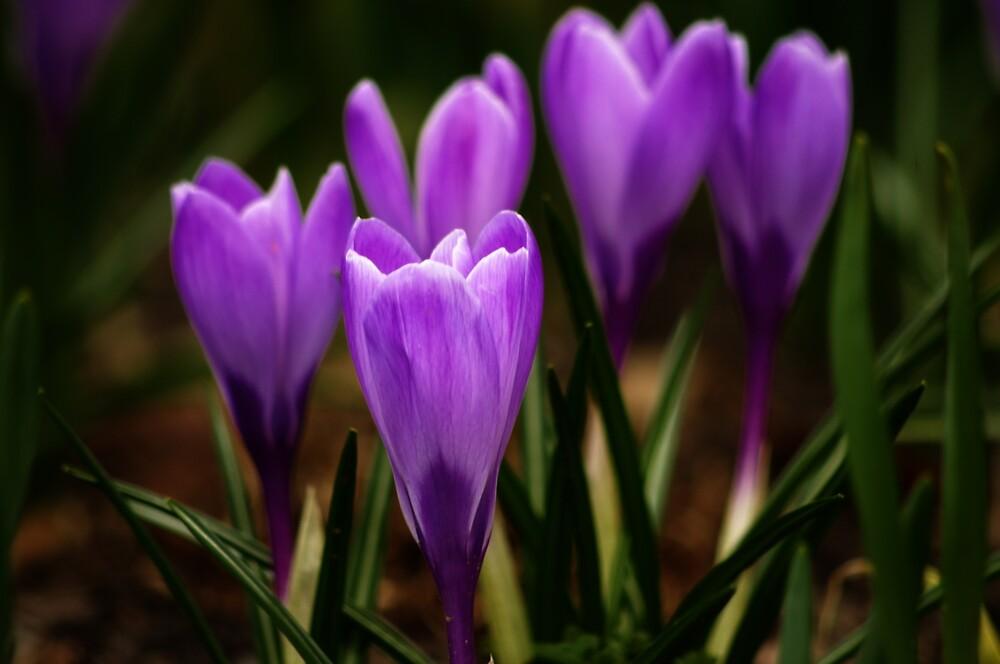 Lavender by nitsmule