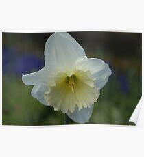 White Daffodil Poster