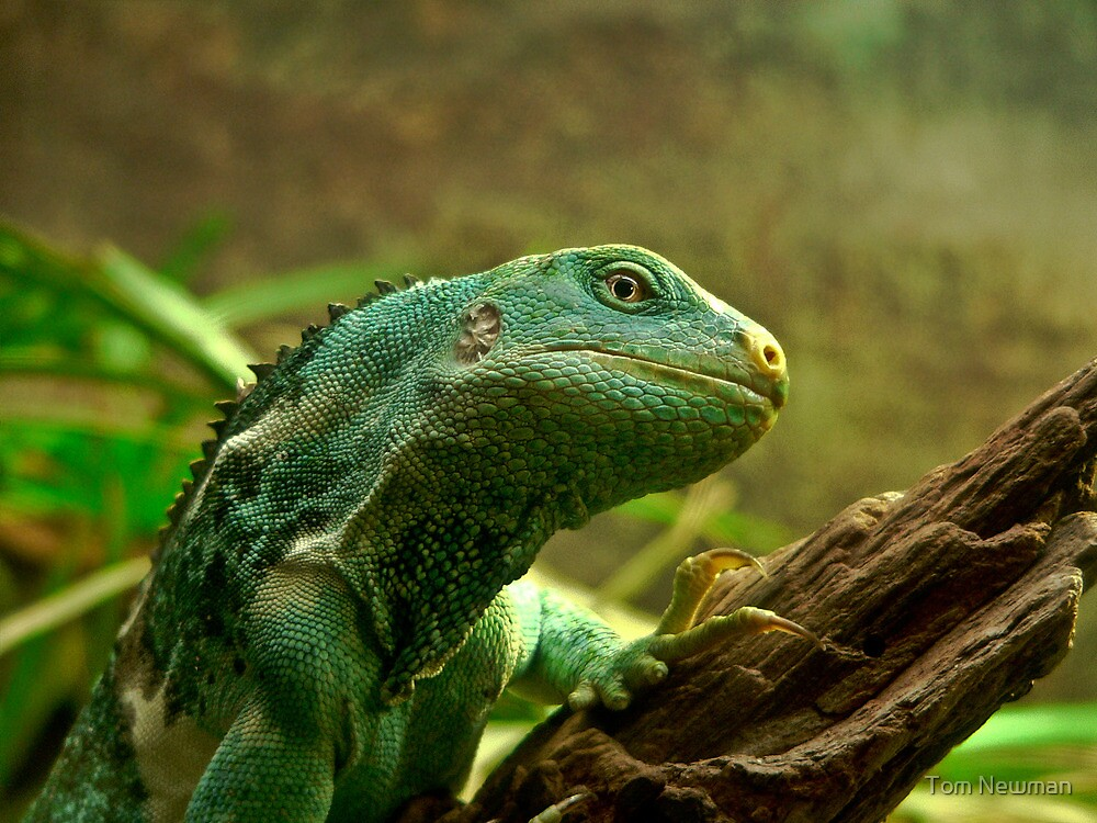 Fijian Crested Iguana by Tom Newman