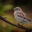 Sparrow by zzsuzsa