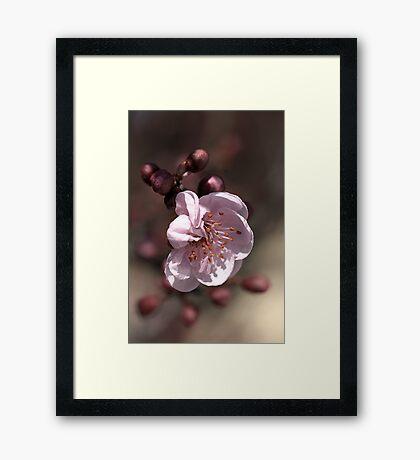 Soft as Blossom Framed Print